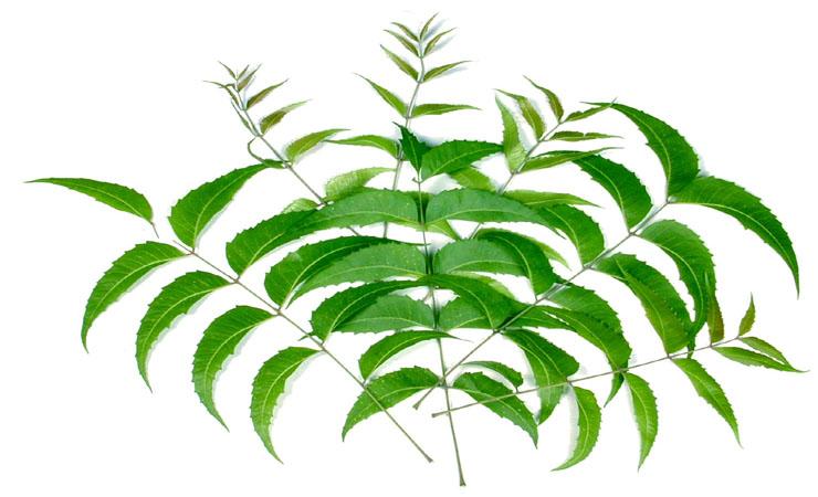 Margosa-Leaves-Diabetes