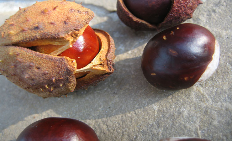 Horse chestnuts ...